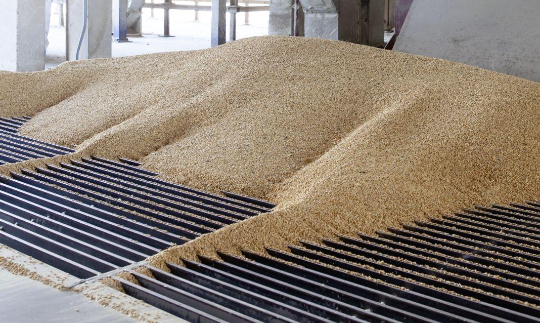 Mucchio di risone dorato sulla griglia metallica della sbramatrice, prima delle diverse macchine per la lavorazione del riso a Mede.