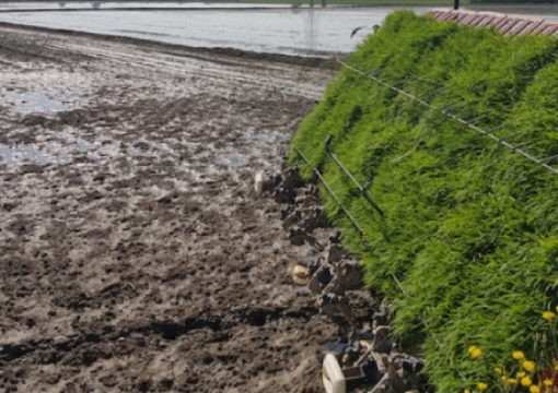 Il trapianto meccanico, opportunità per il riso bio